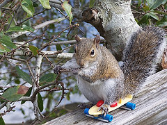 Squirrel on a skateboard. Photo: kthypryn (Creative Commons license)